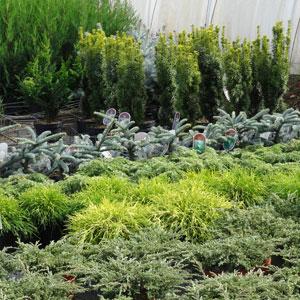 coniferes-1