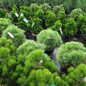 coniferes-2