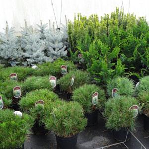 coniferes-3