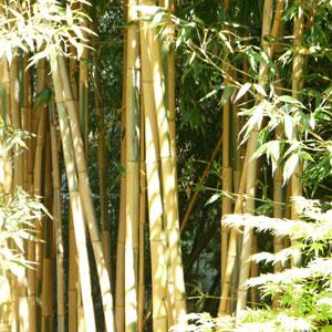 bambous-2