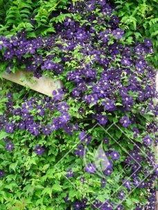 CLEMATITE  grandes fleurs