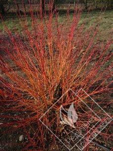CORNUS  sanguinea mid winter