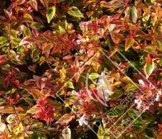 ABELIA  grandiflora kaleidoscope