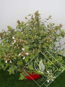 ABELIA  grandiflora lucky lots