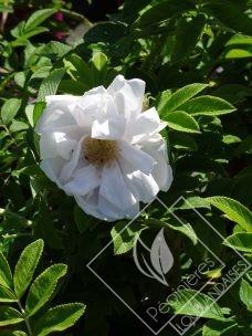 ROSA  rugosa white perfection